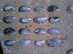 Mussel shells (Burray Village foreshore, Burray, Orkney, 29 July)