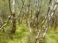 Raasay birchwoods