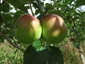 orchard-irish-peach